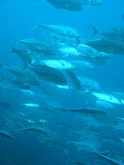 School of fish by CCharmon on Flickr
