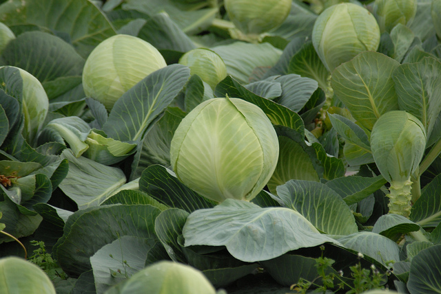 Cabbage Ready for Harvest by Thskyt on Flickr. Used under a creative commons license